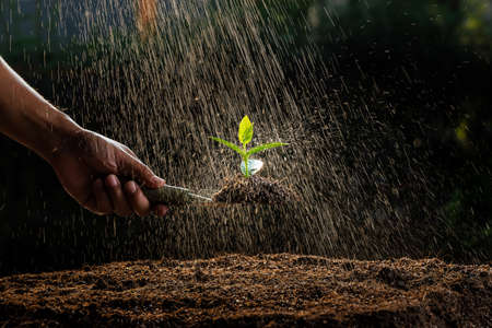 A farmer watering the Spinach seedling that was planted in the nursery.