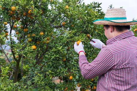 Farmer or gardener with glove using pruning shears harvest orange on the tree.