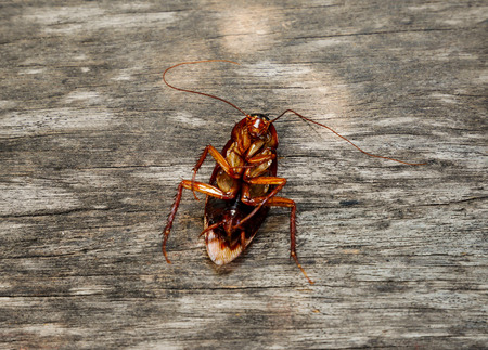 Cockroach dead on the floor
