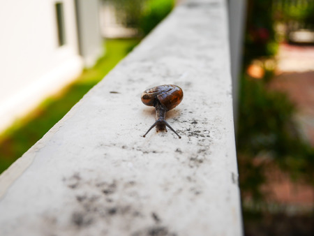 edible snail: Little snail slow move on the wall in house