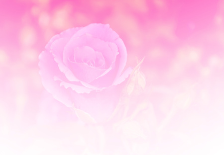 color tone: Beautiful rose flower red color tone background