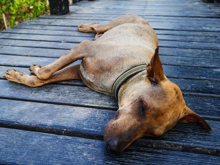 Focus face old dog sleep on wood floor in hot weather 免版税图像