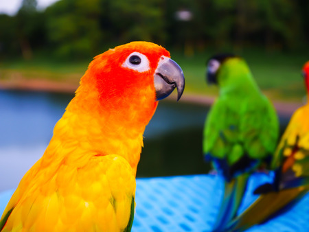 Close up yellow parrot on blur background