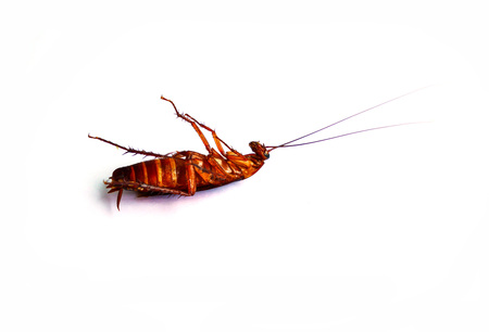 Cockroach dead on white background