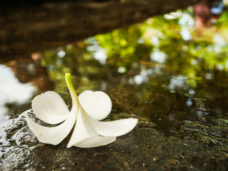 White plumeria flower fall on wet floor with copy space
