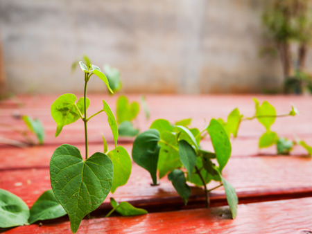 Selective focus heart shape leaf growth on wooden board on blur background with copy space