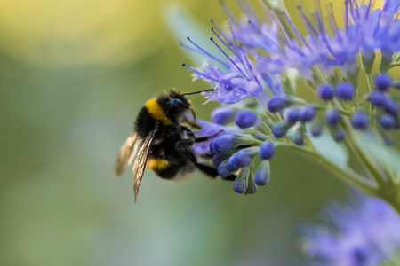 Bumblebee with blue flower  blossom