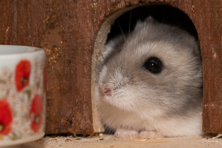 Sweet dwarf hamster looks out of hiding place Фото со стока
