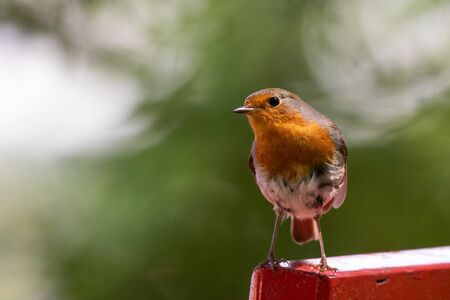 Robin, redbreast, Erithacus rubecula on red bench