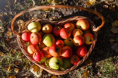 Top view of the basket with red apples on the grass in the autumn season. Basket with apples on the autumn grass. Фото со стока