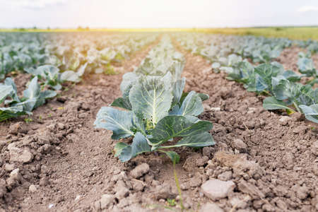 Photo of a cabbage sprout in a field. A field is planted with cabbage. Agriculture of young cabbage in summer. Growing cabbage in the ground on a plantation. Formation of a cabbage head with growth