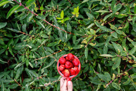 Male hands hold a red mug filled with garden strawberries against the background of bushes in the garden. Horizontal top view with space for text