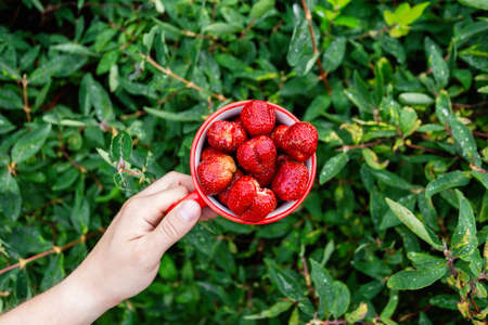 Male hands hold a red mug filled with garden strawberries against the background of bushes in the garden. Top view with space for text 写真素材