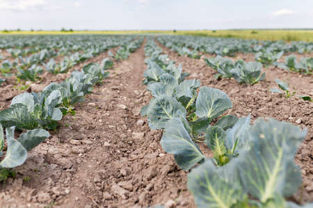 The field is planted with cabbage by a farmer. Agriculture of young cabbage in summer. Growing cabbage in the ground on a plantation. Formation of a cabbage head with growth Standard-Bild - 151070493