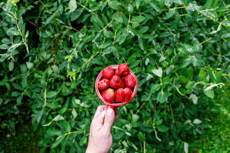 Male hands hold a red mug filled with garden strawberries against the background of bushes in the garden. Horizontal top view with space for text Standard-Bild - 151070424