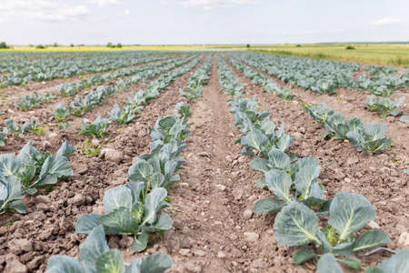 The field is planted with cabbage by a farmer. Agriculture of young cabbage in summer. Growing cabbage in the ground on a plantation. Formation of a cabbage head with growth Standard-Bild - 151070906
