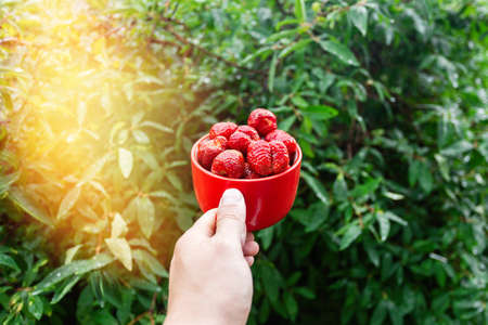 Strawberry berry. A red mug of ripe strawberries in mans hand in the bright rays of the sun. Strawberry harvest. Summer berries with flare light in corner.