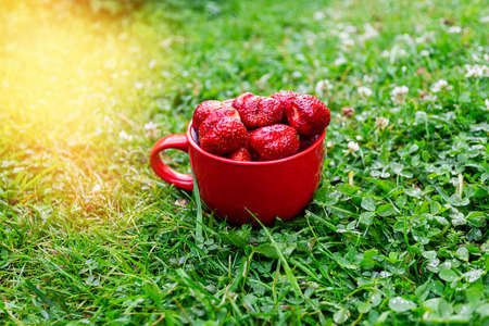 Strawberry berry. A red mug of ripe strawberries on green grass in farmer garden in the bright rays of the sun. Strawberry harvest. Summer berries with flare light in corner.