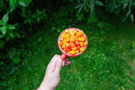 Cloudberry berry. Red Cup of ripe cloudberries in a man's hand on a background of green bushes. Collecting forest ripe cloudberries from the forest. Summer berry. The view from the top. Standard-Bild