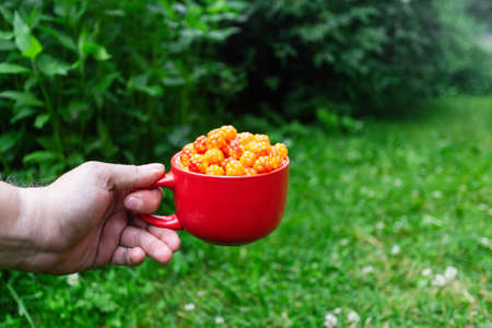 Cloudberry berry. Red Cup of ripe cloudberries in a man's hand on a background of green bushes. Collecting forest ripe cloudberries from the forest. Summer berry. Standard-Bild