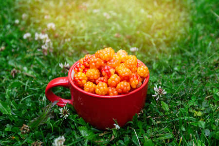 Cloudberry berry. A red cup of ripe cloudberries on the green grass in the farm garden in the bright rays of the sun. Collecting cloudberries. Summer berries.
