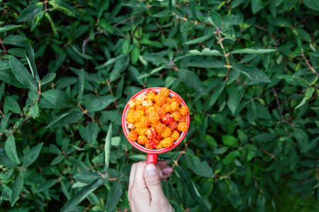 Cloudberry berry. Red Cup of ripe cloudberries in a man's hand on a background of greenery or bushes. Collecting forest ripe cloudberries from the forest. Summer berry. The view from the top.