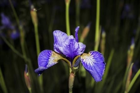 Iris flower Stock Photo