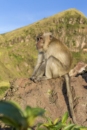 The monkey in the wild, volcano Batur. Bali Island, Indonesia. 2000 meters above sea level.