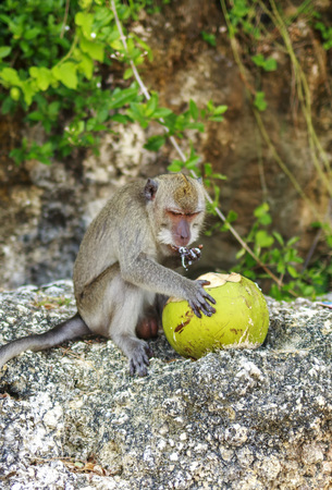 A monkey with a coconut in the wild , Indonesia the island of Bali.