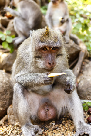 Indonesian macaques. Forest dweller. Sacred forest. Bali Monkeys. Macaca fascicularis. Stok Fotoğraf