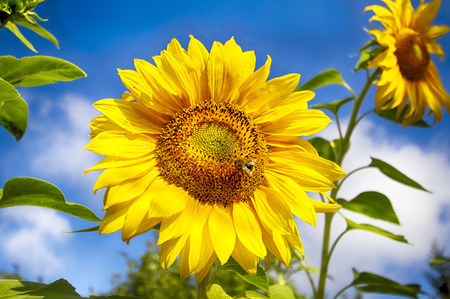 Sunflower against the blue sky. Environmentally friendly production of products. Insect on flower. Stok Fotoğraf