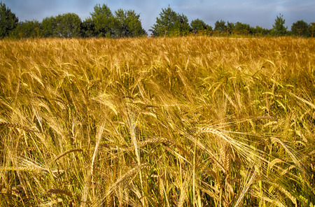 Golden Rye. Rye field against the blue sky. Place for text.