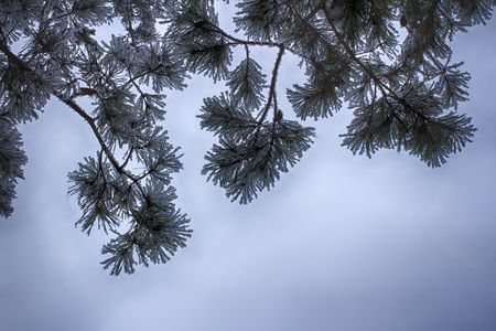 Pine branches in the snow, macro. Snow-covered needles of an evergreen tree.