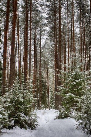 Forest trail in the winter forest. Winter. Pine forest, ecologically clean place for walking.