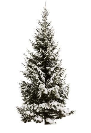 Schneebedeckte Fichte. Kein Hintergrund, isoliertes Objekt. Immergrün. Element für Design. Standard-Bild