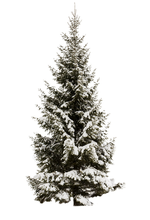 Snow-covered spruce. No background, isolated object. Evergreen. Element for design. Stock fotó