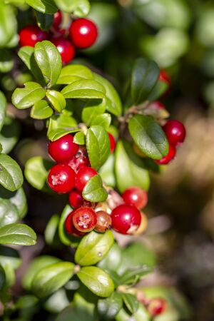 Red cranberry berry in natural nature. Forest berry, environmentally friendly product. Home treatment.