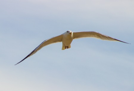 wingspread: Seagull flying in front of bright blue sky Stock Photo