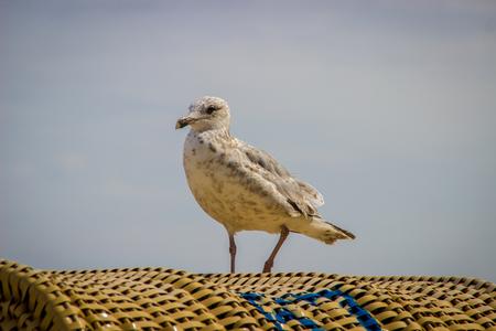looking towards camera: Gull on a beach chair, looking towards the camera Stock Photo