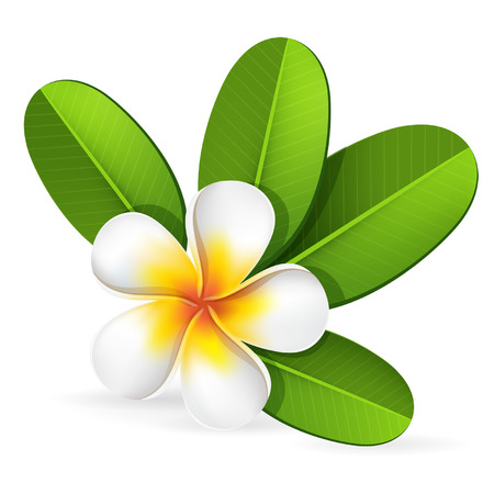 Summer spa frangipani, plumeria tropical flower with green leaves, bali, hawaii, vector editable illustration Çizim