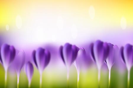 crocuses: Vector flower blurred spring background. Green lawn with purple crocuses. Summer bright wallpaper.