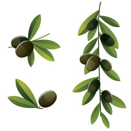 black olive: Set of few different black olive branches. Illustration