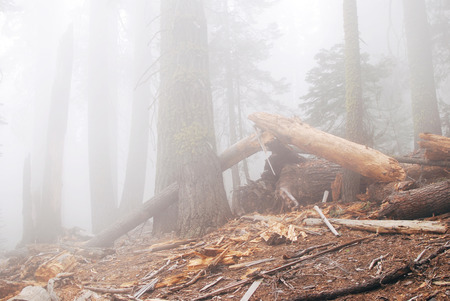Old mystery forest in dense fog, Yosemite National park, 4 miles trail