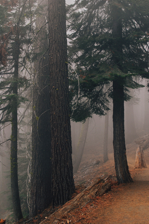 Forest in fog, Yosemite national park, 4 miles trail