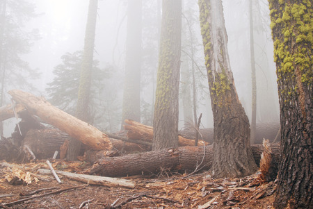 Old forest in dense fog, Yosemity National park, 4 miles trail Stock Photo