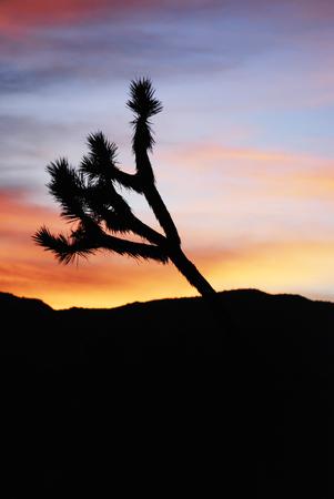 Beautiful pastel colors sunset with Joshua tree silhouette in Joshua Tree National Park, California, USA Stok Fotoğraf