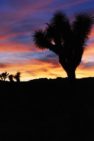 Beautiful bright colors sunset with Joshua tree silhouette in Joshua Tree National Park, California, USA