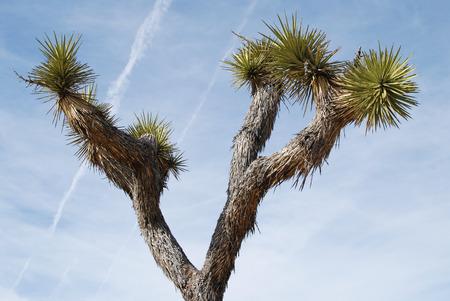 Joshua tree against beautiful blue sky, Joshua tree National Park, California, USA
