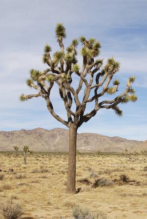 Lonely Joshua tree in dry desert landscape, Joshua tree National Park, California, USA Stok Fotoğraf