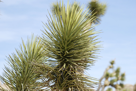 Joshua tree plant close up, Joshua tree National Park, California, USA